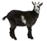 西方公用法国的山羊 库存图片