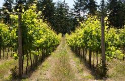 西方加拿大海岸的葡萄园 库存图片