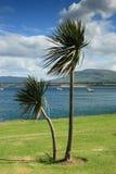 西方海岸爱尔兰的棕榈树 免版税库存图片