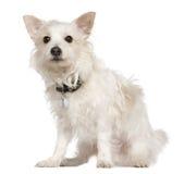 西方狗高地混杂的papillion的狗 免版税库存照片
