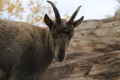 西方白种人tur山羊属caucasica同步符山羊属caucasica是山住宅山羊羚羊的caucasica发现了只  免版税库存图片