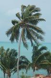 西方翅棕榈的结构树 图库摄影