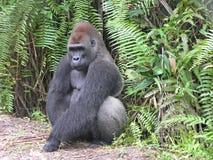 西方非洲加蓬的大猩猩 免版税图库摄影