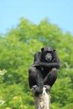 西方非洲的黑猩猩 库存照片