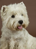 西方高地空白狗, 3岁 免版税库存图片