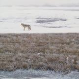 西方3个土狼的无格式 免版税库存图片
