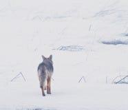 西方5个土狼的无格式 免版税库存图片