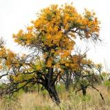 西澳州圣诞树,澳大利亚槲寄生, Nuytsia floribunda, 库存图片