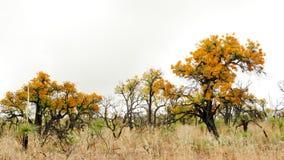 西澳州圣诞树,澳大利亚槲寄生, Nuytsia floribunda, 免版税库存图片