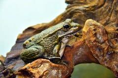 西班牙人共同性青蛙 库存图片