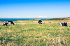 西班牙奶牛在海边农场,阿斯图里亚斯,西班牙 图库摄影
