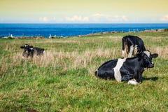 西班牙奶牛在海边农场,阿斯图里亚斯,西班牙 免版税库存照片