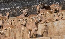 西班牙山羊家庭攀登了峭壁 免版税库存照片