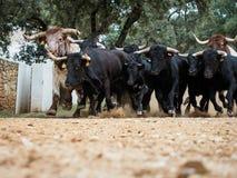 西班牙战斗的公牛跑 免版税图库摄影