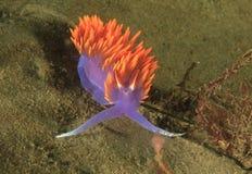 西班牙披肩nudibranch,圣诞老人卡塔利娜海岛,洛杉矶 库存图片