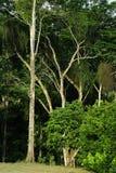 西班牙榆木站立高在森林的边缘 免版税库存照片