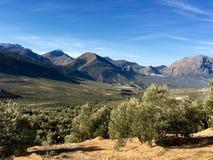 西班牙橄榄树小树林在Jaén 库存照片