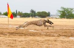 西班牙灵狮 免版税库存图片