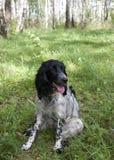 西班牙猎狗。 库存照片
