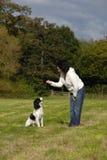 西班牙猎狗培训 库存照片