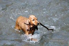 西班牙猎狗有一根棍子 免版税库存照片