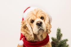 西班牙猎狗特写镜头与圣诞老人` s盖帽的 库存照片