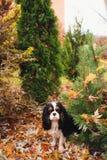 西班牙猎狗狗充分在marple树下坐地面干叶子 免版税库存图片