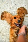 西班牙猎狗狗! 库存图片