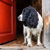 西班牙猎狗狗 免版税库存图片