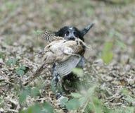 西班牙猎狗用母鸡野鸡 图库摄影