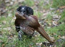 西班牙猎狗用野鸡 免版税库存图片