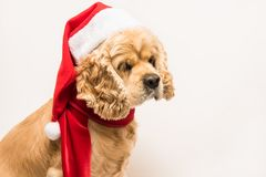 西班牙猎狗画象与圣诞老人` s盖帽的 库存图片