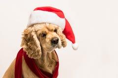 西班牙猎狗画象与圣诞老人` s盖帽的 库存照片