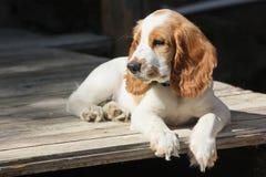 西班牙猎狗红色和白色小狗在门廊放松 库存照片