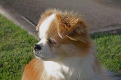 西班牙猎狗藏语 库存图片