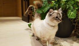 西班牙猎狗跟随的暹罗猫 免版税库存图片