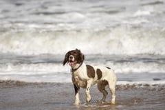 西班牙猎狗 免版税库存图片