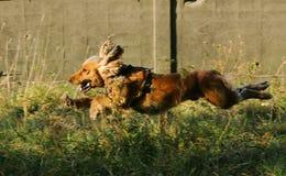 西班牙猎狗 免版税图库摄影