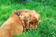 西班牙猎狗 免版税库存照片