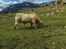 西班牙的风景montain有母牛的 图库摄影
