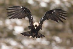 西班牙皇家老鹰 免版税库存图片