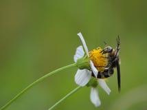 西班牙针黄蜂 免版税库存图片