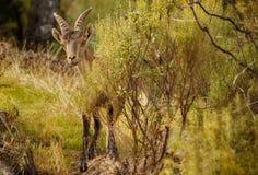 西班牙高地山羊年轻男性在自然栖所 库存图片