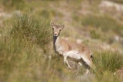 西班牙高地山羊 免版税库存图片