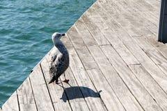 西班牙 卡塔龙尼亚 巴塞罗那 在船坞的海鸥 图库摄影