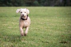 西班牙水猎狗在晴朗的后院 免版税库存照片