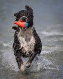 西班牙水猎狗拿来 免版税图库摄影