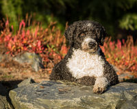 西班牙水猎狗 免版税库存照片