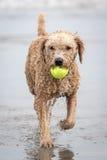 西班牙水猎狗 免版税图库摄影