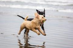 西班牙水猎狗 图库摄影